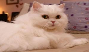 pisica-persana