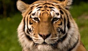 tigru-siberian