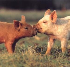 porci-kissing